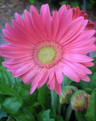Pink Bloom 2