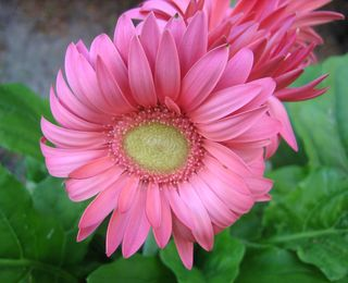 Pink bloom 1